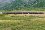 A herd of reindeer in the foothills of the Polar Urals on august day. Russia