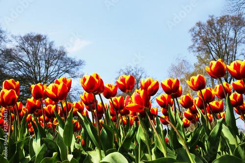 Leinwanddruck Bild Tulpen mit blauem Himmel, Textraum, copy space