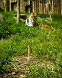 tigre et moineau