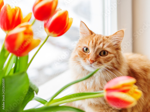 Cute ginger cat with bouquet of red tulips. Fluffy pet with colorful flowers. Cozy spring morning at home. - 252635001