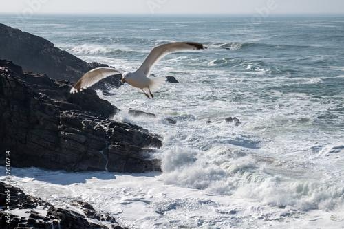 Une mouette survolant la côte de l'Atlantique, mise au point sélective - 252636234