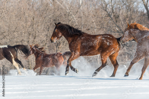multiple horses enjoying running in snow on a beautiful winter day. Snow flying around hooves. Manes and tails caught in motion.