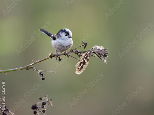 Long-tailed tit, Aegithalos caudatus © Erni