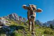 Leinwanddruck Bild - Cow at Gardena Valley