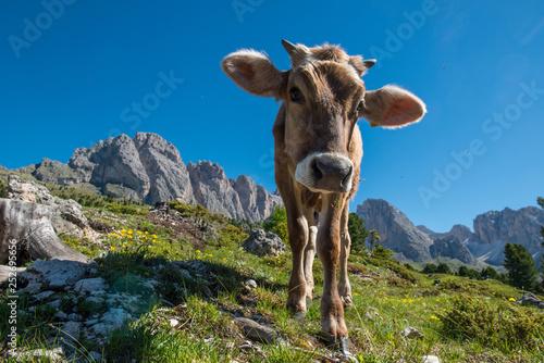 Leinwanddruck Bild Cow at Gardena Valley