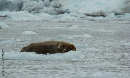 obraz lub plakat Bearded Seal is resting on an ice floe, Svalbard, Spitsbergen, Norway