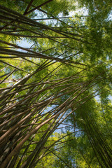 Green bamboo forest view into the tropical jungle © Nicola