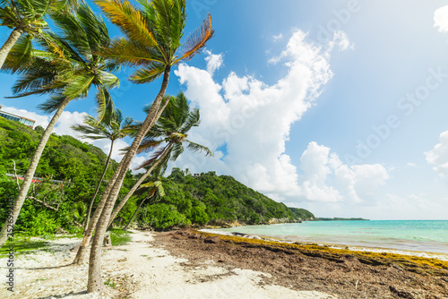 Fototapeten Strand Coconut palm trees in Les Salines beach in Guadeloupe island