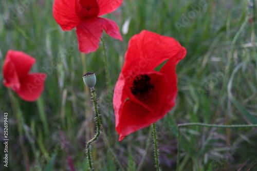fiore di papavero in campo verde - 252699443