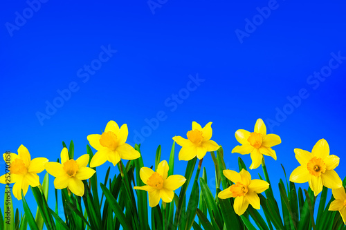 obraz lub plakat Nature spring background with Yellow flowers daffodils