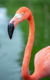 rosa Flamingo in der Karibik