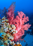 Coral reef of the Red Sea red Dendronephthya.