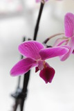 Solo Pink Orchidee