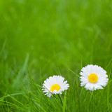 Beautiful Nature Summer Background with Daisy flowers