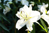 Beautiful white lilies spring flower in garden of morning sunlight