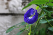 beautiful purple butterfly pea with green leaves