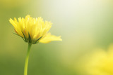 Fototapeta Kosmos - Beautiful nature close up blurred yellow cosmos flowers background in spring. © Ubonwan