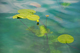 Green leaf with yellow blossom on water