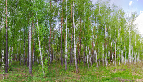 Birches and pines on the edge of spring forest - 252792048