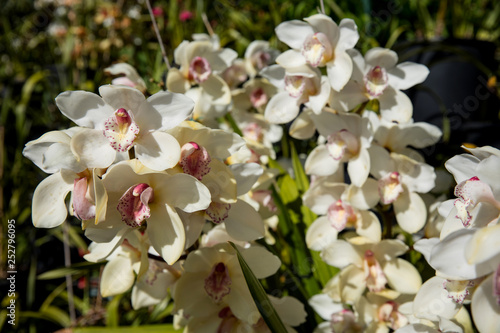 orchid flowers in the garden - 252796095