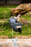 Marabou in the park area