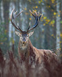 Open range Red Deer Stag in natural enviroment.