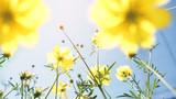 Fototapeta Kosmos - Cosmos flowers blooming © fgnopporn