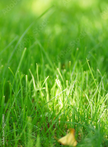 Green grass on the lawn. - 252814860