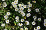 Common daisies in the meadow (macro). Bellis perennis flowers background