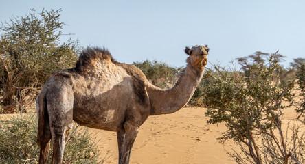 Camel in the desert of Sudan eating leaves of an acacia bush, sahara