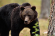 Leinwandbild Motiv Big male bear powerful pose. European brown bear powerful pose.