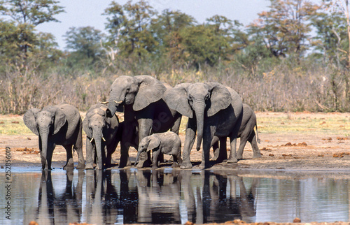 elephant herd at the river, drinking