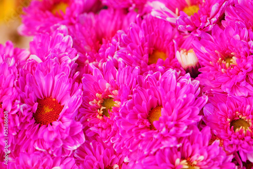 close up of colorful chrysanthemum flower - 252868628