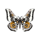 Hand drawn African Emperor Moth - Gonimbrazia Zambezina - 252869239
