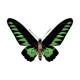 Hand drawn Rajan Brookie Birdwing butterfly - 252869250