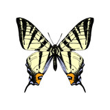 Hand drawn western tiger swallowtail butterfly - 252869260