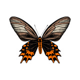 Hand drawn Antropaneura Semperi butterfly - 252869268