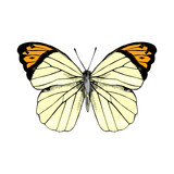Hand drawn Great Orange Tip - Hebomoia glaucippe - butterfly - 252869281