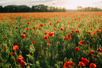 Field of fresh poppies at sunset in the South