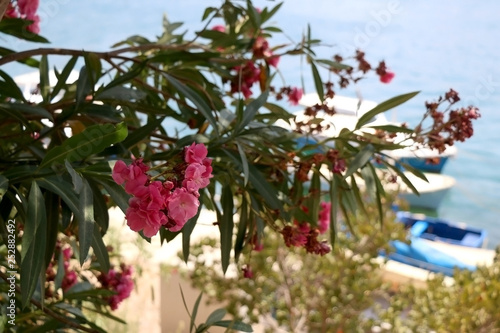 Pink nerium flowers in bloom. Selective focus.