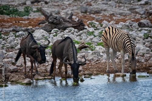 Wildebeest and Zebra - 252899082