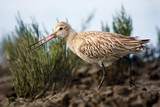 The bar-tailed godwit (Limosa lapponica) on the shore. Godwit in non-breeding plumage.
