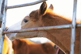 Fototapeta Konie - Foal horse smelling farm fence close up during spring season in agriculture western industry. © ccestep8