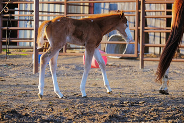 Small brown foal horse on farm shows baby animal during spring season.
