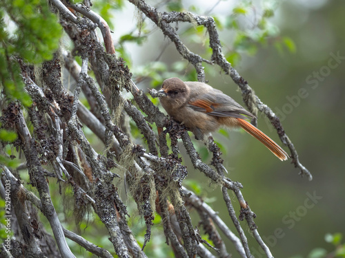 Siberian Jay sitting on the fir branch