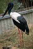 A side view of a black stork