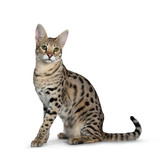 Cool young adult Savannah F1 cat, sitting side ways. Looking beside camera with green eyes. Tail behind body. Isolated on white background.