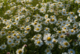Early spring. Chamomile in the field. White daisies grow in the meadow. Beautiful flowers are a symbol of spring. Natural background.