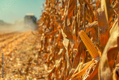 Combine harvester is harvesting corn crops