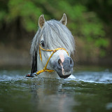 Fototapeta Konie - Gorgeous stallion swimming in river © zuzule